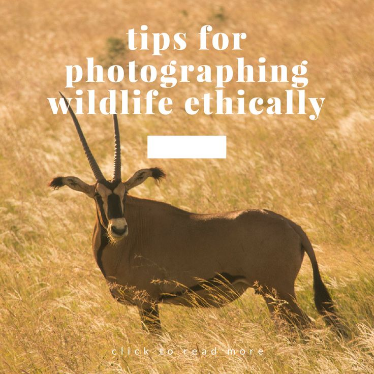 Doing it the right way. Click to read more. #wildlifephotography #nature #naturephotography #wildlife #africa #safari