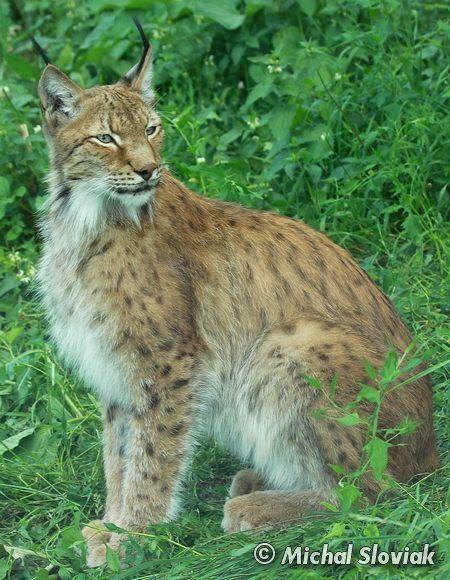 Tibetan Lynx - Lynx lynx isabellinus