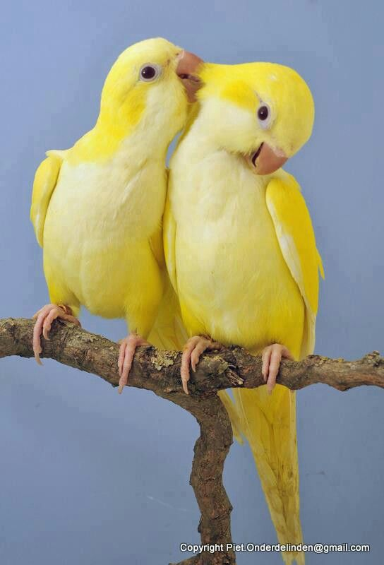 Yellow Quaker Parrots!!! looks like he is whispering sweet-nothings in her ear and she's all giggly . . . lol