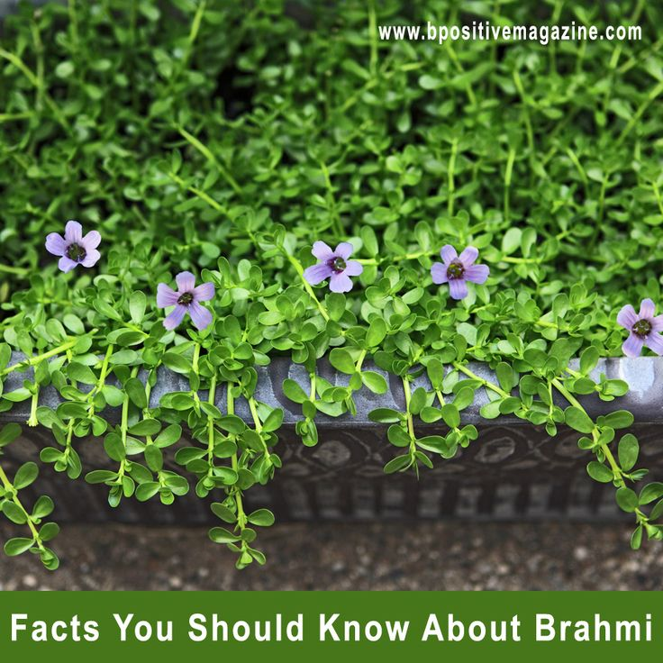 Discover #Medicinal Uses of #Brahmi - A #Memory Enhancer