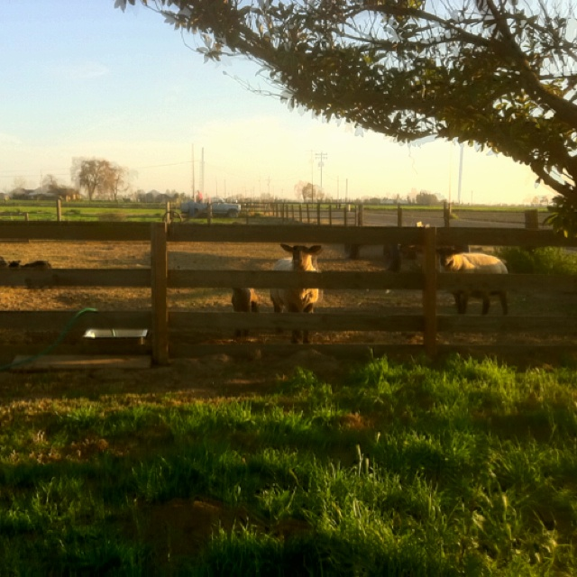 Sheep graze in a field, on a small Central San Joaquin Valley countryside farm.  Tell these sheep it's still winter.  I doubt they would believe it, on this beautiful springlike day.