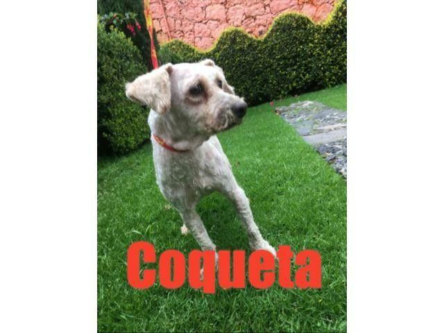 Coqueta, 9 años, rescatada de un abandono inhumano. Se le extirpó tumor uterino. Hoy convive con otros perritos, muy cariñosa. Merece una gran familia que la ame.  https://adoptaunamascota.com.mx/perros/adopta-un-amigo_4659