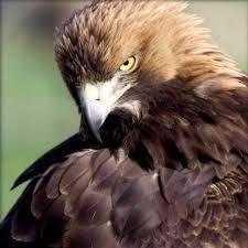 Resultado de imagem para aguias