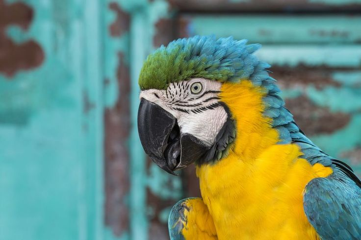 """The Ara Ararauna"" Photo by Emanuele Del Bufalo -- National Geographic Your Shot"