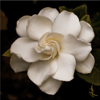 Gardenia. This would make for a nice tattoo also