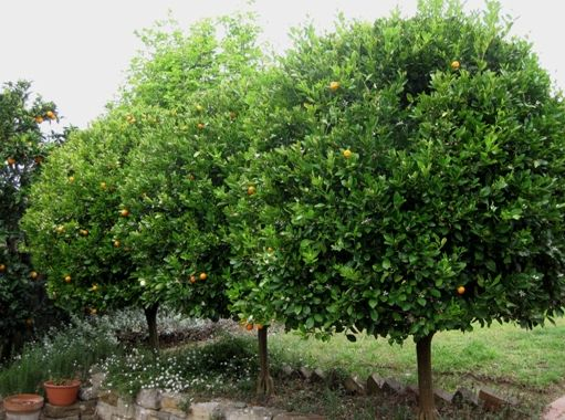 fruit trees trees shrubs plants house backyard landscapes garden