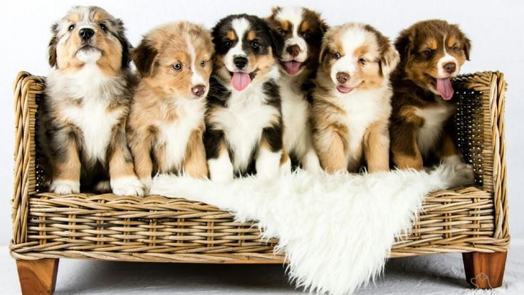 Australian Shepherd puppies growing | Time lapse | Youtube Video