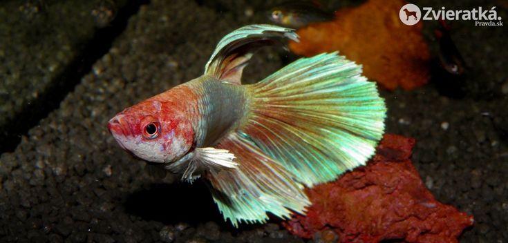 Bojovnica pestrá, dobyje každé akvárium - Ryby - Zvieratka.Pravda.sk