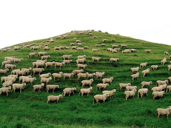 New Zealand-SO MANY SHEEPNew Zealand Sheep, Zealand Photography, Zealand Landscapes, Animals Lambs, Landscape Photography, Landscapes Photography, Travel Photography, Animal Lambs, Caramel Apples