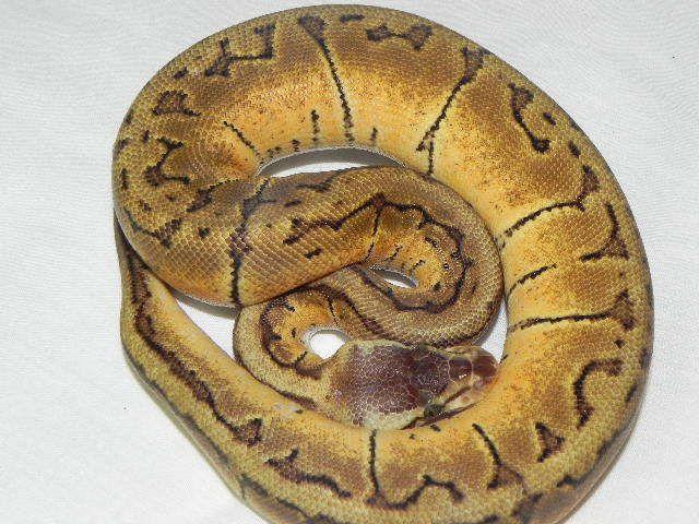 Snakes at Sunset - Lemon Blast Ball Python for sale (Python regius), $129.99 (http://snakesatsunset.com/lemon-blast-ball-python-for-sale-python-regius/)