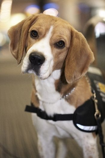 Bio Security Beagle, Auckland International Airport. Using nature to protect…