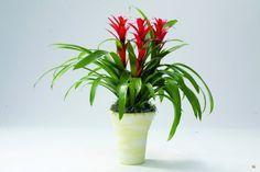 Гусмания — уход, выращивание и размножение  Гусмания — многолетнее вечнозеленое растение со светло-зелеными листьями и эффектными яркими, чаще красными, прицветниками. Поражает своей красотой и яркостью! Отлично впишется в любое помещение. Фото: © abudhabiplant