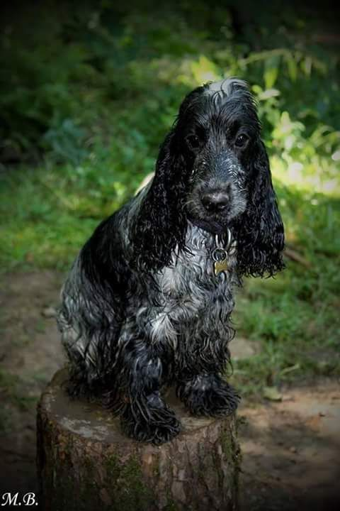 Princi and water - Blue roan english cocker spaniel