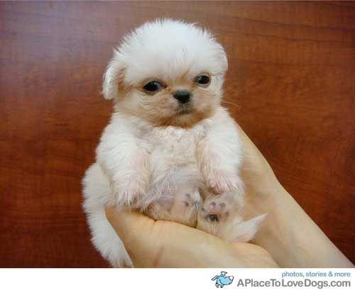 Tiny Pekingese Puppy