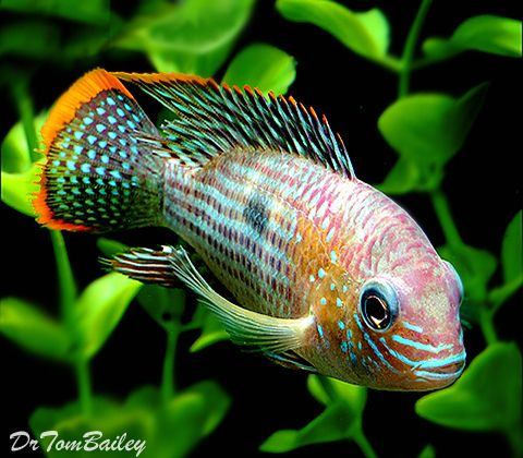 17 best images about blue ram tag on pinterest for Coolest freshwater fish