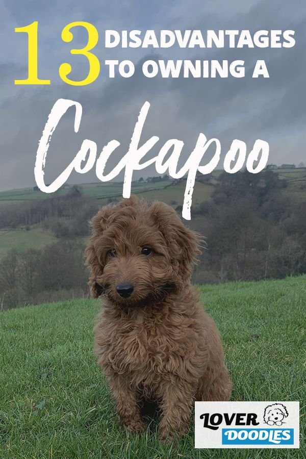 If You Have Ever Considered Adopting A Cockapoo There Are A Few Things That You Should Know These Seemly Beautiful Dogs May