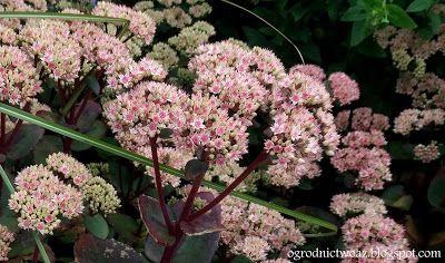 Ogrodnictwo od A do Z : Sedum 'Matrona' (Sedum telephium 'Matrona')- Rozch...