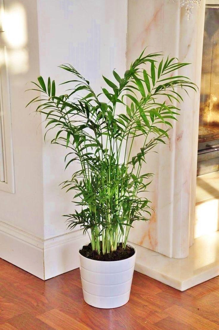 Die          Chamaedorea elegans        zählt zu den pflegeleichten Zimmerpflanzen und erfreut sich großer Beliebtheit. Die zahlreichen Blätter sind in schmale Fiedersegmente aufgeteilt und überzeugen mit einer...