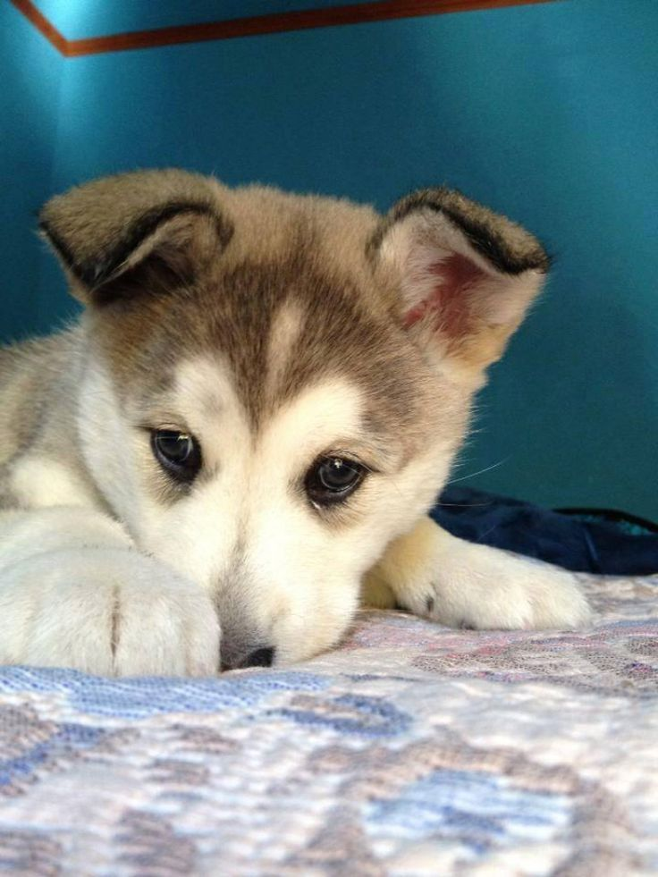 Husky puppy wanting some snuggle time