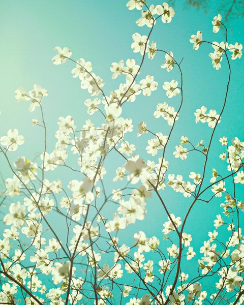 Spring Photo - Fine Art Photography, dogwood, aqua, blue, white, teal, blossom…
