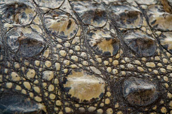 Peau d'un crocodile du Nil