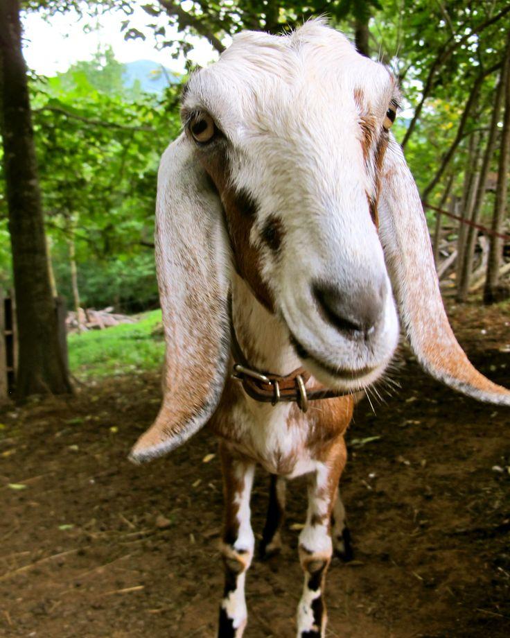 778 Best Goat Farm Images On Pinterest: 17 Best Images About Goats On Pinterest