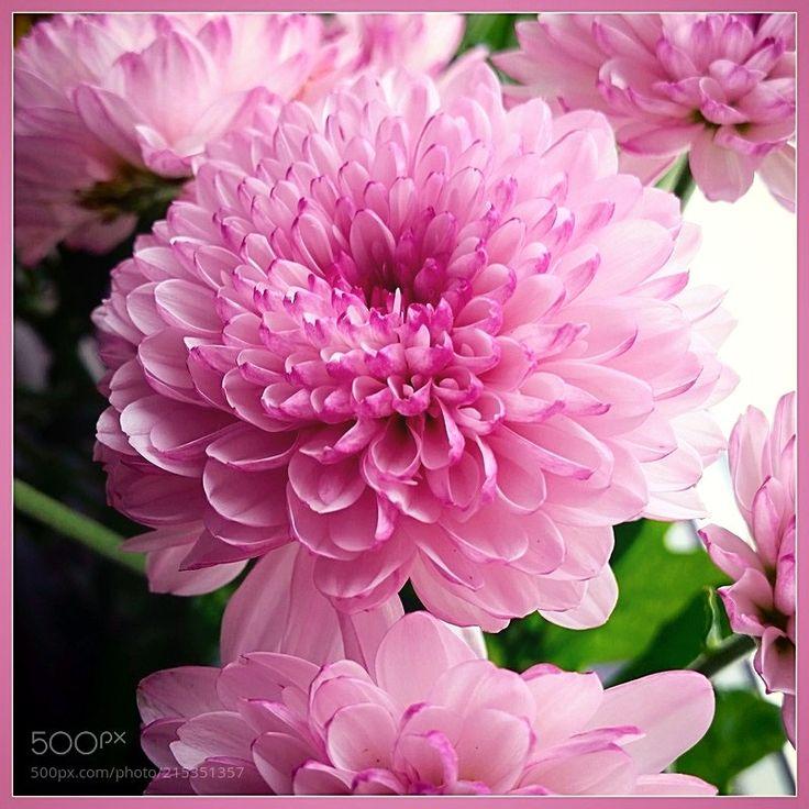 Хризантема - Букет хризантем макросъёмка.  Сайт:  http://ift.tt/2rdDDbR