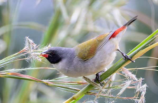 E. m. melanotis cock-tropical-hobbies | Vivariums-birds guide finch-Waxbill
