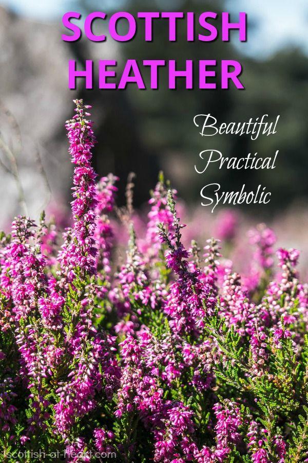 Scottish Heather Scottish Heather Scottish Flowers Heather Plant