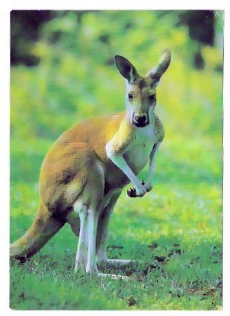 AK Känguru