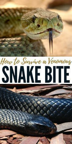 How to Survive a Venomous Snake Bite – This article talks about how to ID the snake the bites you and what do when the venom is coursing through your veins. Though that venom may not be deadly it could hinder you in such a way that wilderness survival could become an impossibility. #SurvivalMedicine #familysurvival #wildernesssurvival