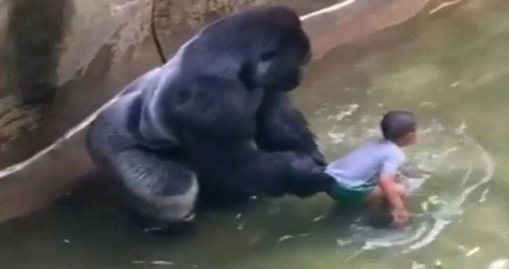 Animal Experts Weigh In On Harambe The Gorilla's Death - http://all-that-is-interesting.com/harambe-gorilla-death-animal-experts-opinions?utm_source=Pinterest&utm_medium=social&utm_campaign=twitter_snap