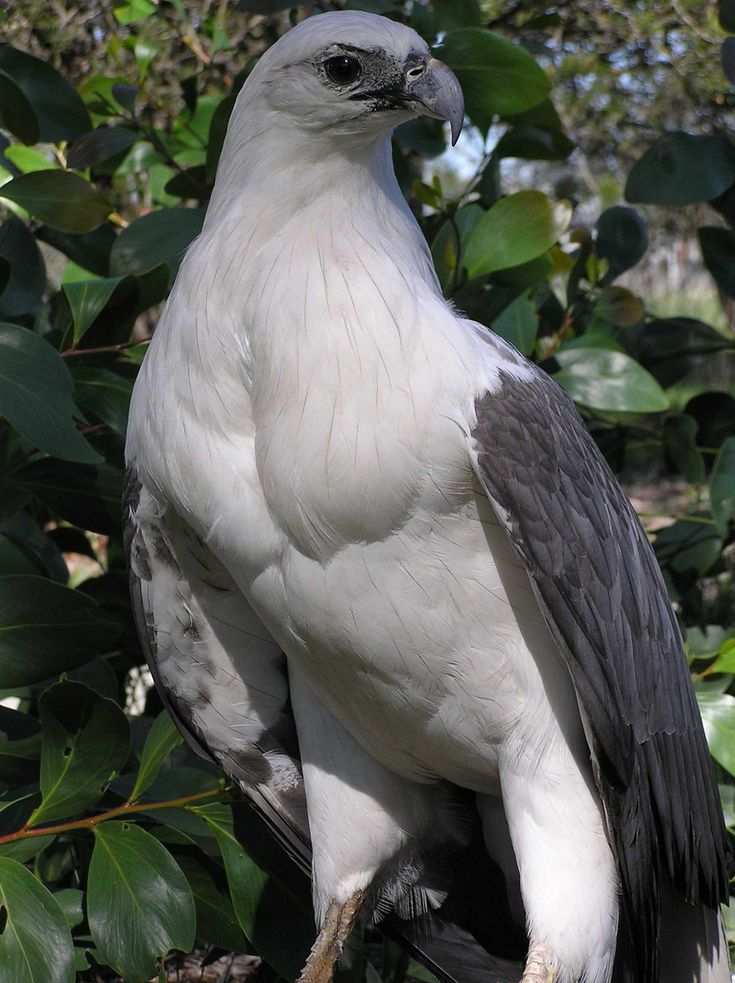 The White-bellied sea eagle (Haliaeetus leucogaster), also known as the white-breasted sea eagle, is a large diurnal bird of prey in the family Accipitridae. Resident from India and Sri Lanka through Southeast Asia to Australia on coasts and major waterways, the white-bellied sea eagle breeds and hunts near water, and fish form around half of its diet. Opportunistic, it consumes carrion and a wide variety of animals. - Wikipedia, the free encyclopedia