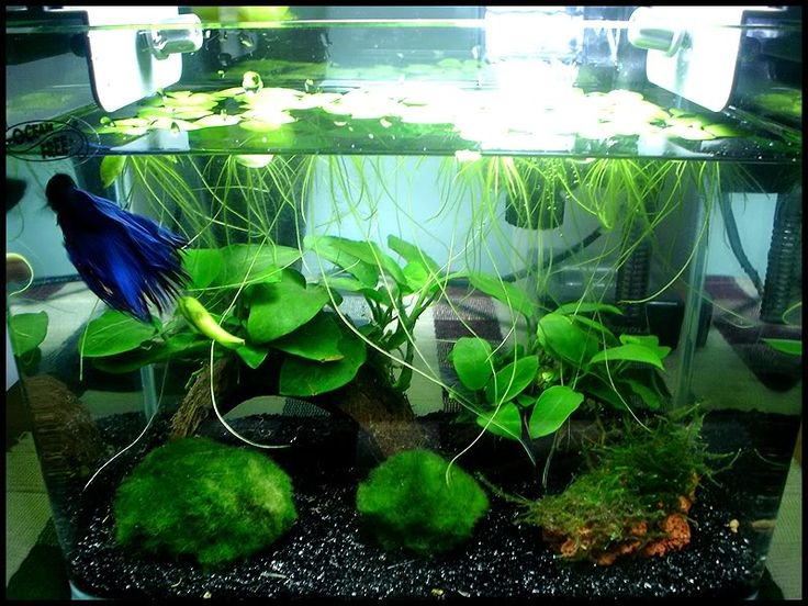 Bettas love floating plants.