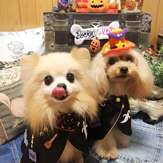 【ハロウィンコスプレ】 街中が、ハロウィングッズで 賑やかになって来ました🎃👻 ワンコ友達の可愛いコスプレの 写真アップも増えて来ました💖 ポキミルも、ハロウィンマントで、 はい❣️ポーズ‼️ …あらっ、ポッキー オヤツで釣ってるの、バレバレ〜💦 #愛犬#ワンコ#dog #pet #わんこなしでは生きていけません会 #ポメ#ポメラニアン#pome #pomeranian #トイプー#トイプードル#toypoo #toypoodle #pecoいぬ部 #ふわもこ部 #いぬばか部 #かわいい #いぬ #いぬすたぐらむ #ハロウィン#コスプレ#ハロウィングッズ#賑やか#ワンコ友達#写真#ポーズ#おやつ #バレバレ
