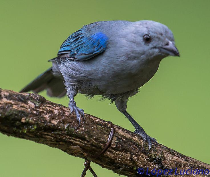 TANGARA AZULADA .(Thraupis Episcopus.)BLUE GRAY TANAGER.