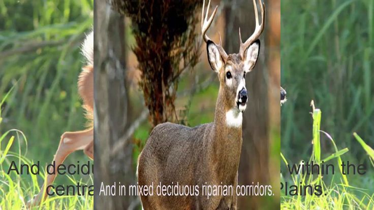 Understanding White tailed Deer Behavior During the Rut | White tailed D...