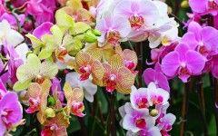 Bunga Anggrek Yang Cantik ~ flo0134