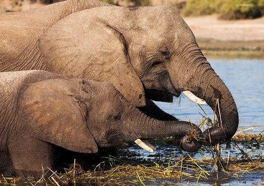 Słonie - zdjęcie Kaśka Sikora #słonie #fotografiaprzyrody #safari #KaśkaSikora #Sikora #Chobe #KatarzynaSikora #Zdjęcia #fotografWarszawa
