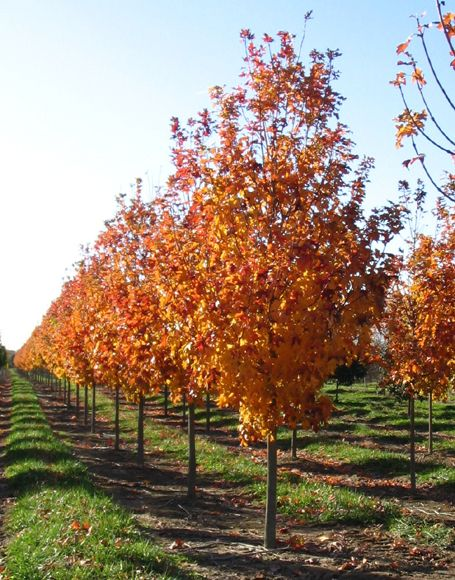 Good Tree To Plant In Spring Fall Fiesta Sugar Maple