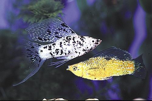 Sailfin mollies Aquarium fish, tanks, fresh and salt water Pinte ...
