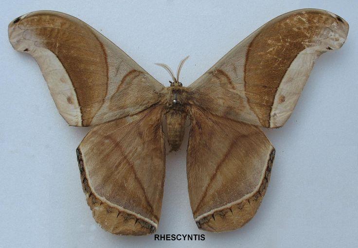 Les 25 meilleures id es concernant papillon de nuit sur pinterest le scarab e d or tatouage - Signification papillon de nuit ...