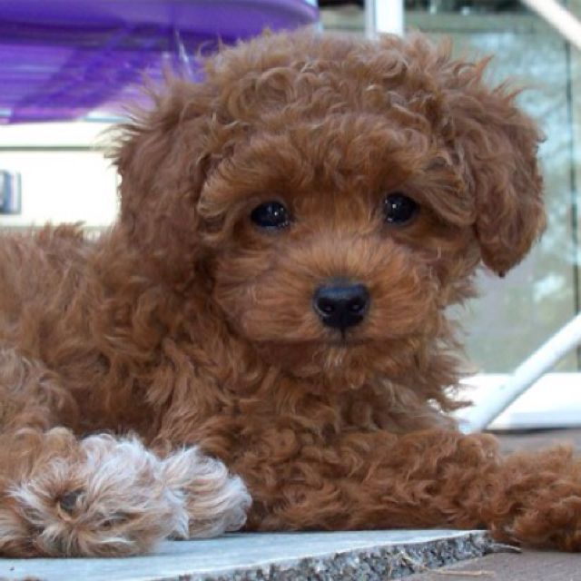 23 best images about Chocolate Teacup Poodle on Pinterest ...