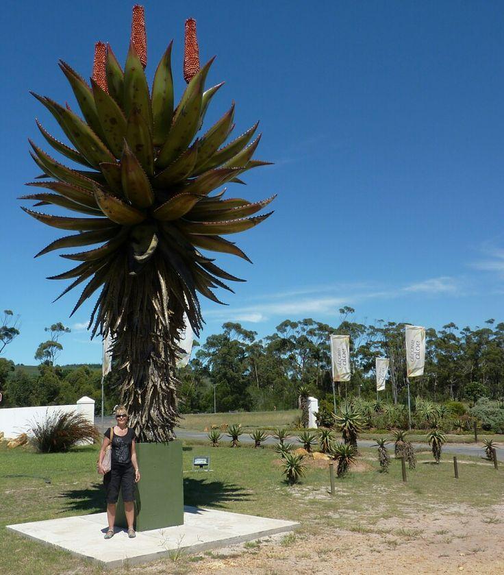 Giant Aloe.