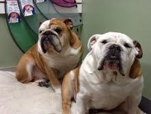 pitbull and a bulldog i think???
