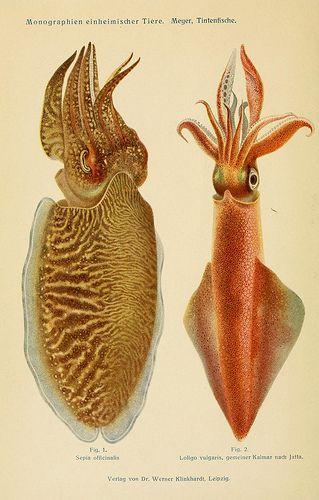 Cuttlefish Squid, Tintenfische; mit besonderer Berücksichtigung von Sepia und Octopus (1913), by Dr. Werner Th. Meyer.
