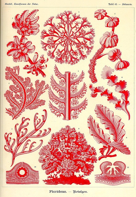 Kunst-Formen der Natur (Art Forms in Nature), by Ernst Haeckel, 1898.