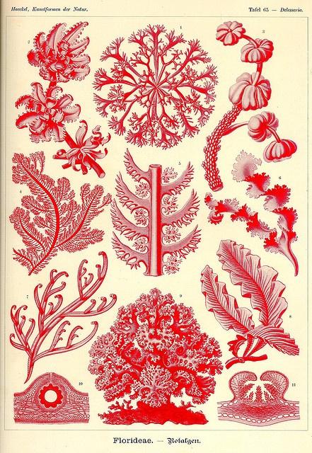 Kunst-Formen der Natur (Art Forms in Nature), by Ernst Haeckel, 1898.