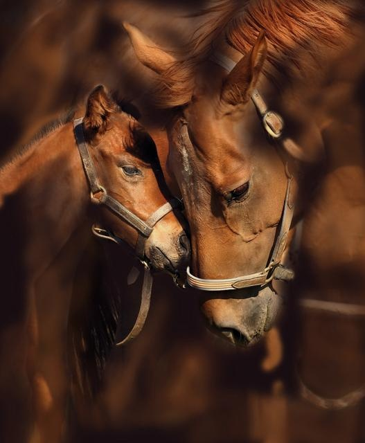 Mother and son - © 2010 Servane Pauchenne - chevaux,horses,pferde,animaux,mammifères,mammals,pur sang Photography Online Artworks