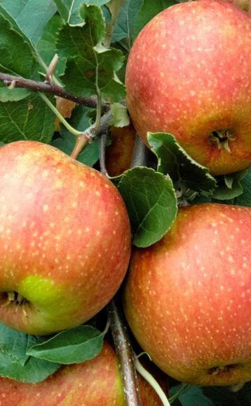 Wir wollten von unserer Facebook-Community wissen, welche Apfelsorten sie am besten findet. Hier stellen wir Ihnen die Ergebnisse unserer kleinen Umfrage vor